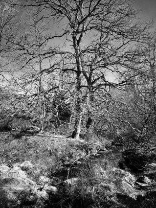 Stark bemooster Baum an der Bayehon