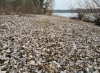 Muschelbank am Rheinufer