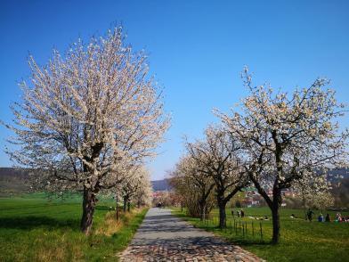 Allee mit Kirschbäumen hinauf zur Arche Nebra