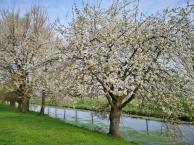 Viele Kirschbäume säumen in diesem Abschnitt der Niers das Flussufer