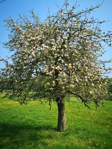 Prächtig blühender Apfelbaum