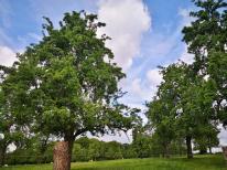 Frisch ergrünte Obstbäume