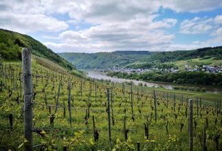 Blick durch die Weinberge nach Briedel, kurz vor Pünderich