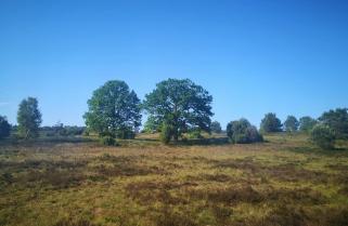 Die Heideflächen sind mit Sträuchern und einzelnen Bäumen durchsetzt