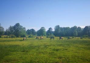 Neben Schafen werden auch Pferde zur Beweidung der Heide genutzt