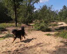 Der Wald in den Maasdünen steht auf sandigem Untergrund