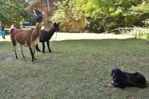 Upps, wo kommen denn plötzlich die Lamas her?