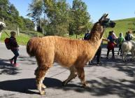 Begegnung mit einer Gruppe von Wander-Lamas