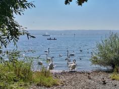 Schwänenversammlung am See
