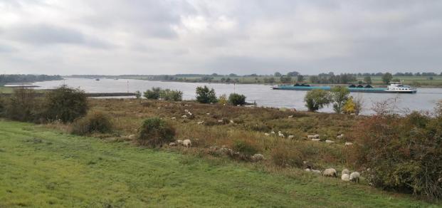 Schafe an der Mündung der Emscher in den Rhein