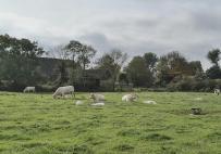 Weibliche Charolaisrinder mit ihrem Nachwuchs bei Rindern