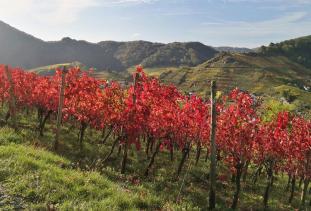 Rote Weinstöcke oberhalb von Mayschoß