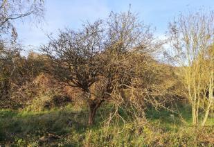 Knorriger Baum in den Dünen
