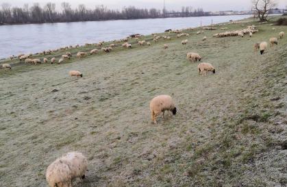Winterharte Schafe auf dem Rheindeich bei Hamm
