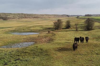 Robuste Wildpferde auf ihrer Winterweide