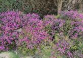 Blühende Heidekräuter in Steinforth-Rubbelrath