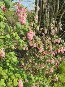 Blühender Johannisbeerstrauch kurz vor Büttgen