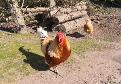 Zutrauliche Hühner vor einem Bauernhof am Rande von Vorst