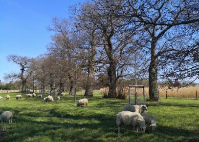 Schafe beweiden die Grasflächen unter der leider gesperrten historischen Kastanienallee