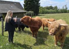 Zutrauliche Galloway-Rinder nehmen Kontakt auf