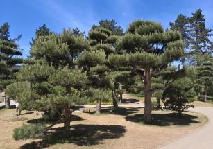 Koupierte Bäume im Japanischen Garten