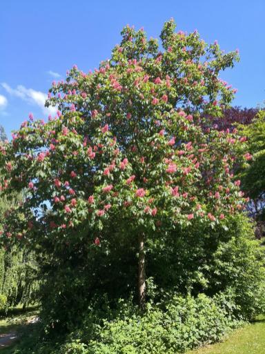 Prächtig blühender Baum im Park am Seilerblick