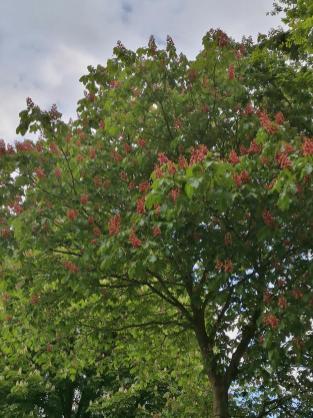 Blüte der fleischroten Rosskastanie in den Niepkuhlen