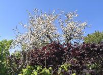 Hübsche Obstblüte in Vossenack