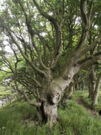 Knorriger Baum an der Steilküste