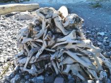 Wurzelwerk eines gestrandeten Baums am Strand