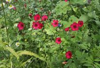 Hübsche Wildblumen an der alten Wassermühle in Dattenfeld
