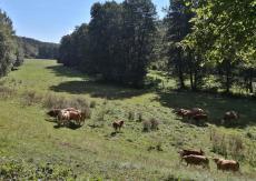 Kühe weiden im Talgrund links der Göltzsch