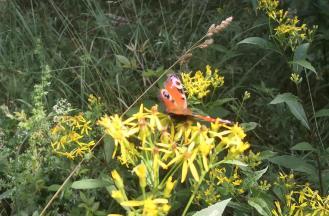 Viele schöne Schmetterling säumen unseren Weg, hier ein Tagpfauenauge