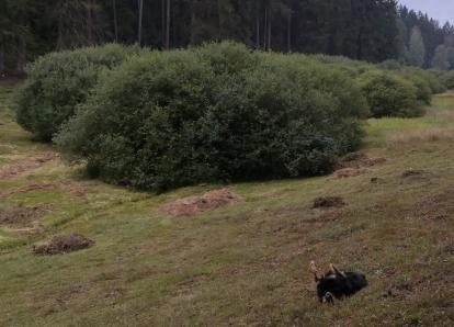 Doxi rollt sich auf dem saftigen Wiesengrund ab