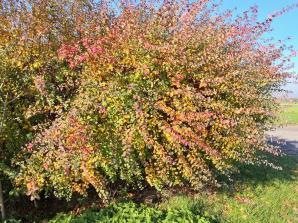 Alle Herbstfarben in einem Strauch