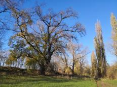 Mächtige Bäume am Rheinufer