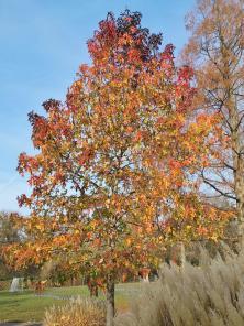 Eine Nationalbaum? Fast scheint es, als seien die Blätter Schwarz, Rot und Gold gefärbt.