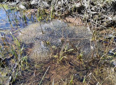 Die stehenden Wasserflächen entlang des Weges sind angefüllt mit Froschleich