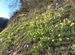 Wilde Narzissen auf den Hängen oberhalb von Monschau