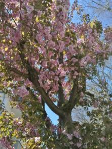 Blühender Zierkirschbaum