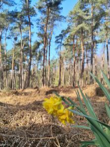 Bevor die Farne ihren Wachstumszyklus erneut beginnen, hat diese wilde Narzisse die Frühlingssonne für sich genutzt