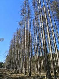 Auch hier muss der sterbende Kiefernwald gefällt werden