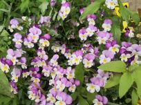 Hübsche zweifarbige Blüten am Poppelsdorfer Weiher