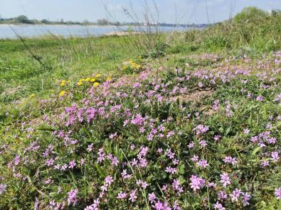 Wildblumen am Rheindeich