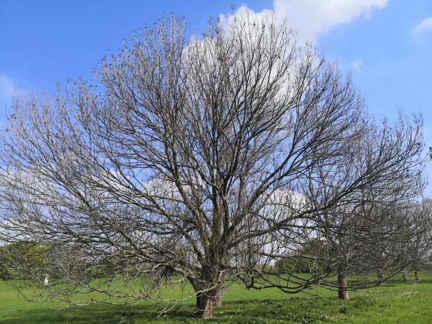 Spätblüher: Baum auf den Rheinwiesen