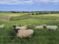 Schafe am Grindsee - frisch geschoren