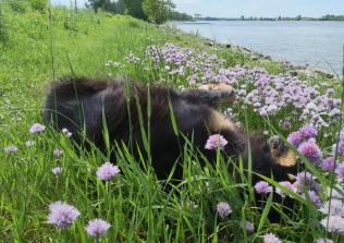 Doxi rollt sich im Schnittlauch am Rheinufer ab