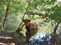 Dieses Rind weidet vom See aus junge Baumtriebe ab
