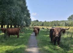 Hochlandrinder am Rodebach