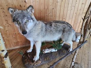 Der Wolf von Goldenstedt wurde nicht sehr alt